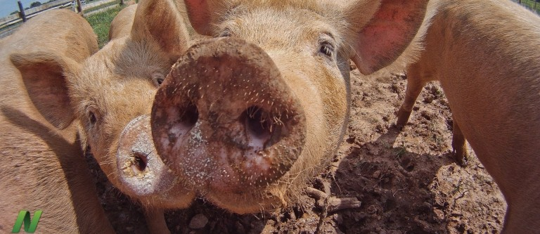 Hepatitis E Virus in Pork