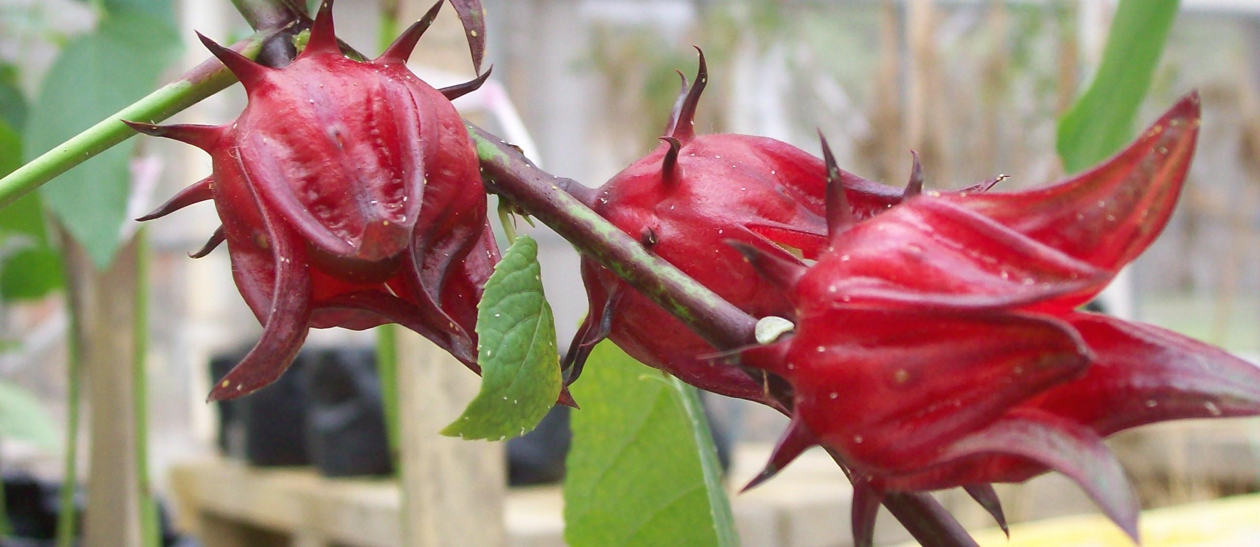 Hibiscus Tea Flower Power