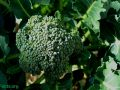 DNA Protection From Broccoli