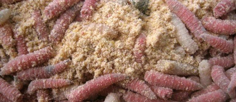 Cheese Mites and Maggots
