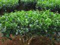 Antimutagenic Activity of Green Versus White Tea