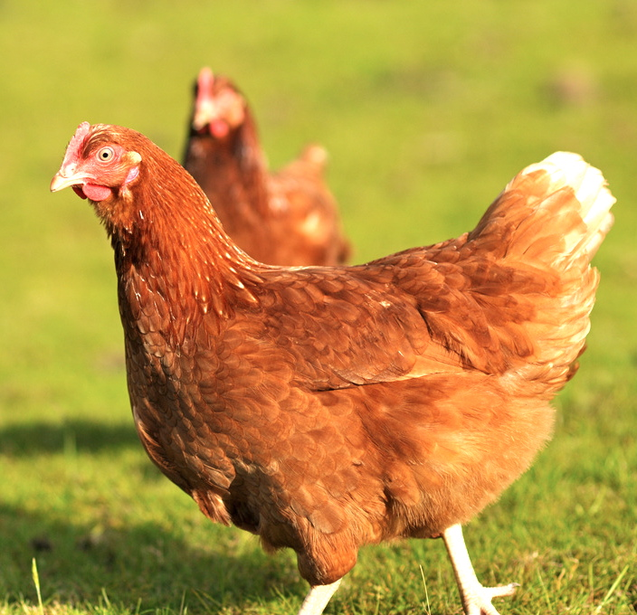 Are Free Range Eggs Healthier