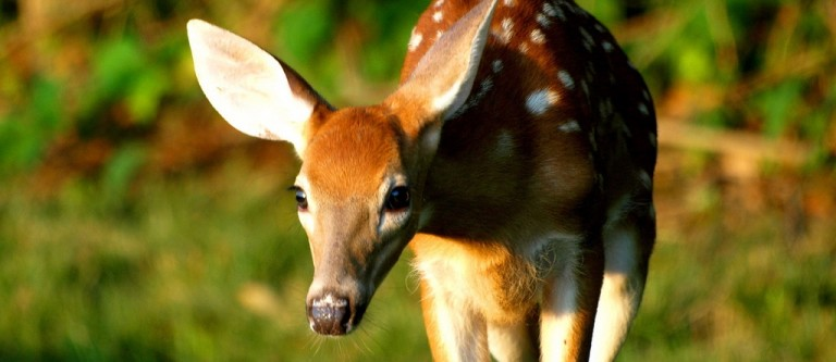 NF-Lead Poisoning Risk From Venison