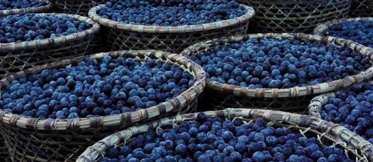 NF-Feb27 Clinical Studies on Acai Berries