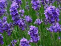 NF-June03 Lavender for Generalized Anxiety Disorder