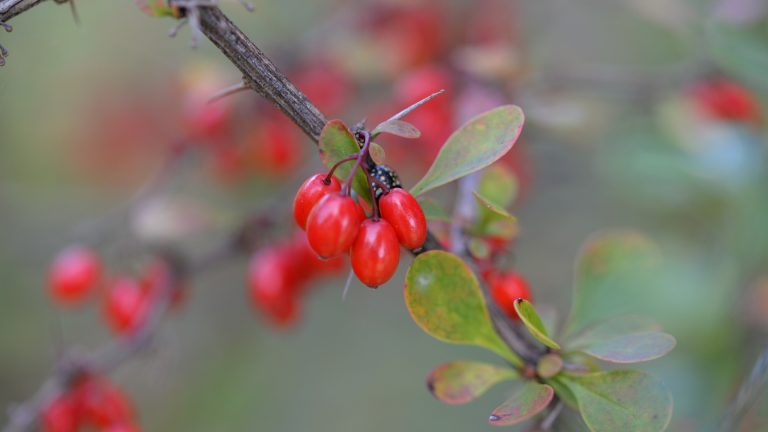 Treating Acne with Barberries